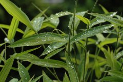 sasa-rain1.jpg